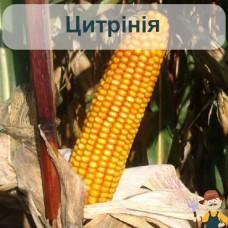 Насіння кукурудзи Цитрінія