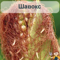 Насіння кукурудзи Шавокс