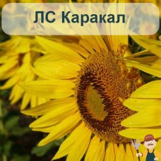 Насіння соняшника ЛС Каракал