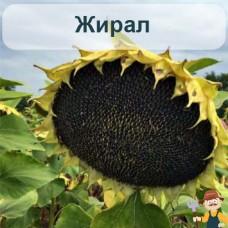 Насіння соняшника Жирал