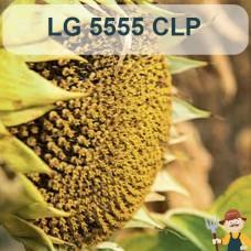 Насіння соняшника ЛГ 5555 КЛП