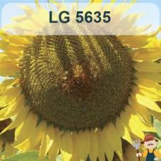 Насіння соняшника ЛГ 5635